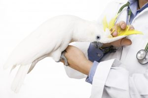 veterinary caressing a beautiful yellow-crested cockatoo