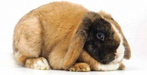coniglio-obeso