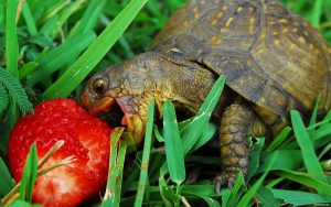 alimentazione-delle-tartarughe-di-terra