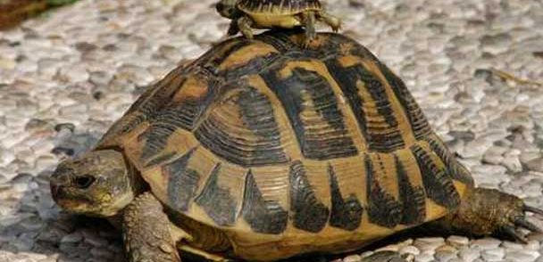 come-maneggiare-la-tartaruga