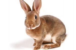 coniglio-muta