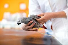 esame-del-pappagallo-di-gray-africano-nell-infermeria-del-veterinario-60151150