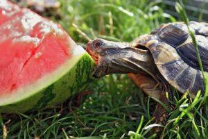 tartaruga-e-anguria