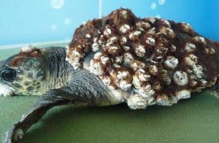 tartaruga-piena-balani