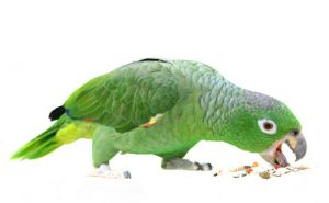 parrot-eating-wb