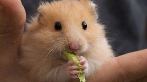 criceto-alimentazione