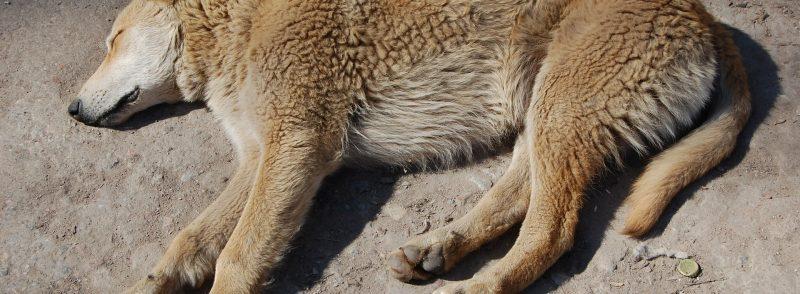 cane-sofferente