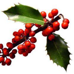 L'agrifolgio si riconosce dalle foglie appuntite sui bordi e dalle bacche rosse.