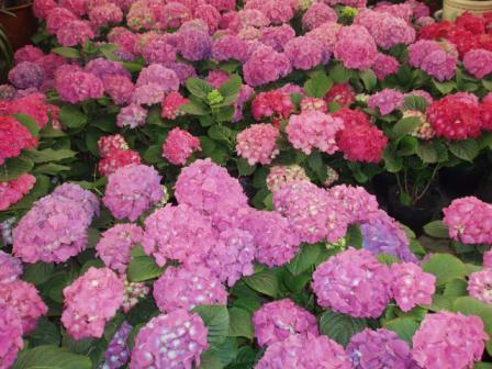 L'ortensia ha grossi fiori vaporosi.