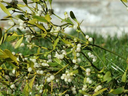 Il vischio presenta delle bacche bianche e delle foglie allungate.