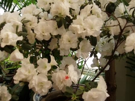 I fiori del Rododendro sono bianchi e ampi.