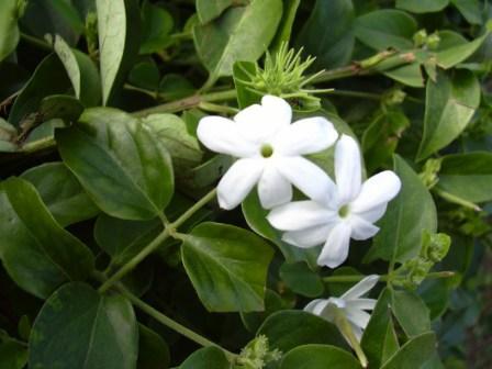 Il gelsomino ha piccoli fiori bianchi.