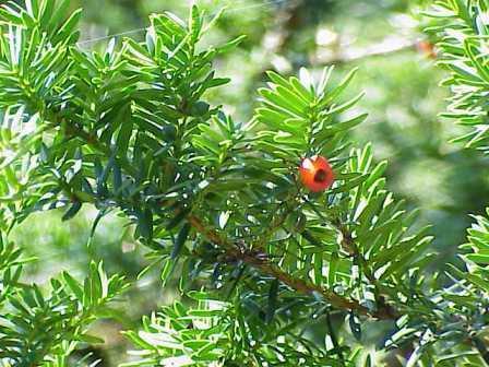 Il tasso ha foglie allungate e bacche rosse.